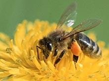 Медоносные пчелы возьмут на себя диагностику рака