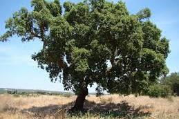 Пробковое дерево скрывает в себе мощный противораковый агент