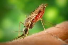 При помощи комара можно заразить добровольца малярией.