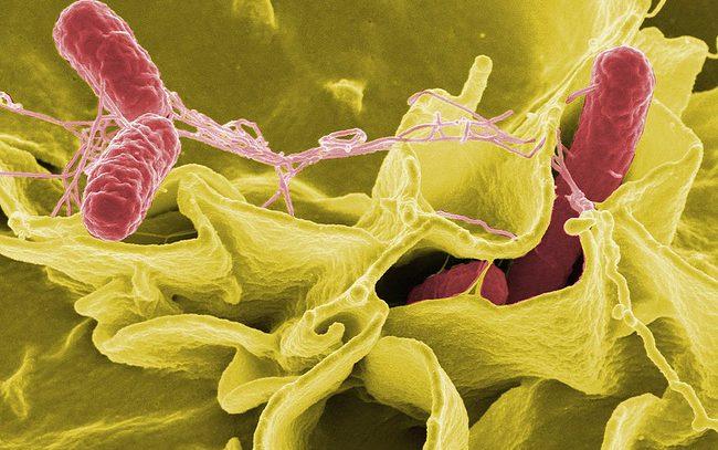 Болезнетворная бактерия помогает бороться с раком