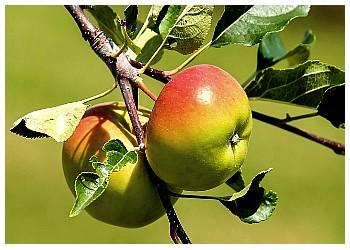 Доказана эффективность яблочного экстракта против рака толстой кишки