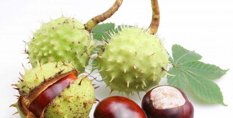 Конский каштан — лечебные свойства и противопоказания