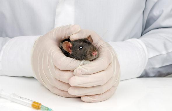 Опухоль у крысы – как ее вылечить?