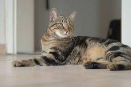 Домашняя короткошерстная кошка