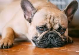 Очень заразная болезнь – лишай у собак