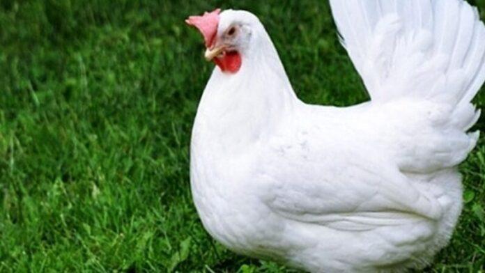 Онкологи рассказали, чем рискуют любители куриного мяса
