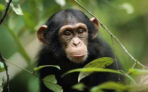 Эксперты опасаются, что пандемия COVID-19 может поставить под угрозу популяцию горилл, шимпанзе и орангутанов